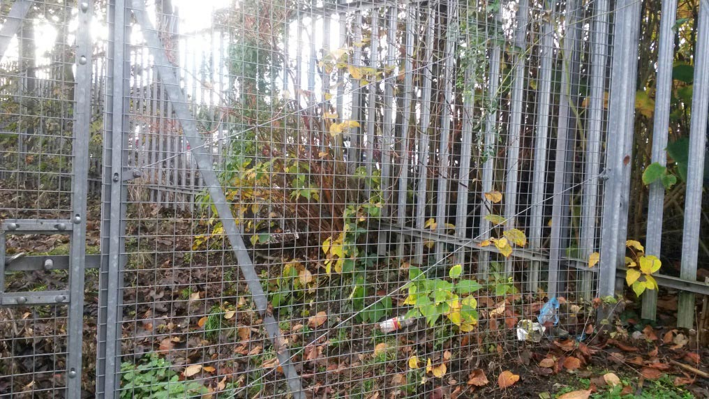 Japanese Knotweed clearance at Swanley