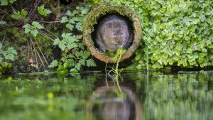 water vole habitat creation - Twig Ecological