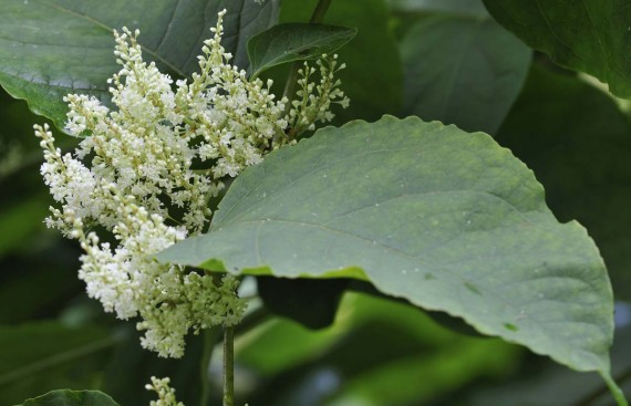 Japanese Knotweed Management for Kent County Council