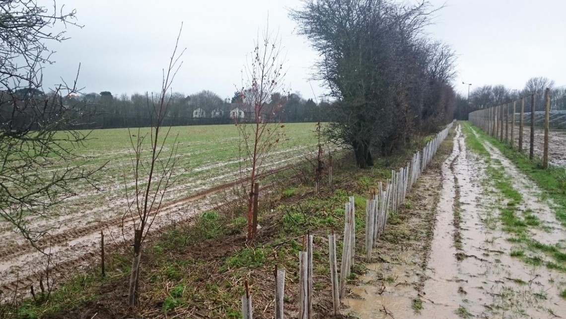 Tree and Hedge Planting at Guston Solar Farm for Conergy